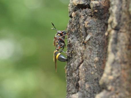 ハチモドキハナアブ交尾後