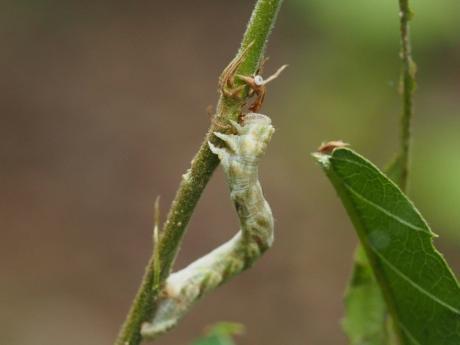 ヒメカギバアオシャク幼虫か