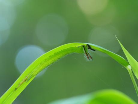 クロコノマチョウ幼虫脱皮後