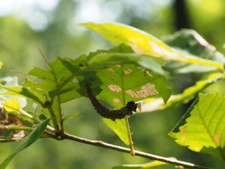 ツマグロフトメイガ幼虫か2