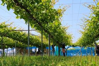 s-黒部・ポッサファームの葡萄