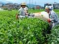 s-なないろKAN前、バタバタ茶畑のヤブキタ種の茶摘み