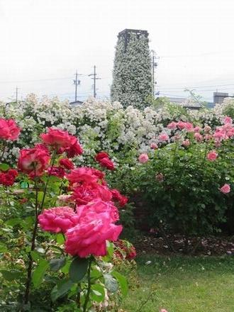 IMG_1061薔薇タワー2