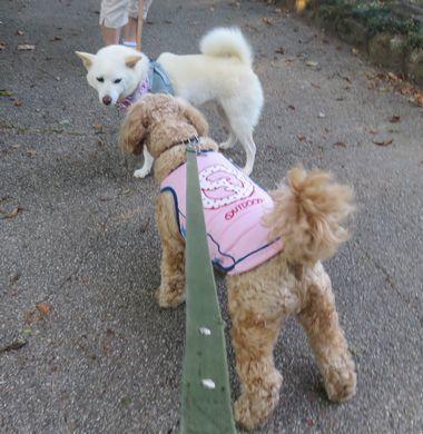 017白柴犬