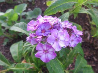 003紫の花