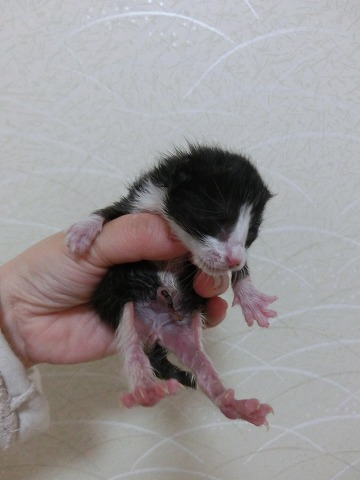 チャピアポ子猫と術後の腫れ 014
