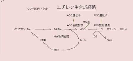 kaban-ヤンサイクル