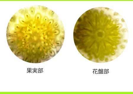 kaban果実花盤