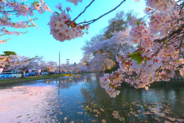 弘前桜19