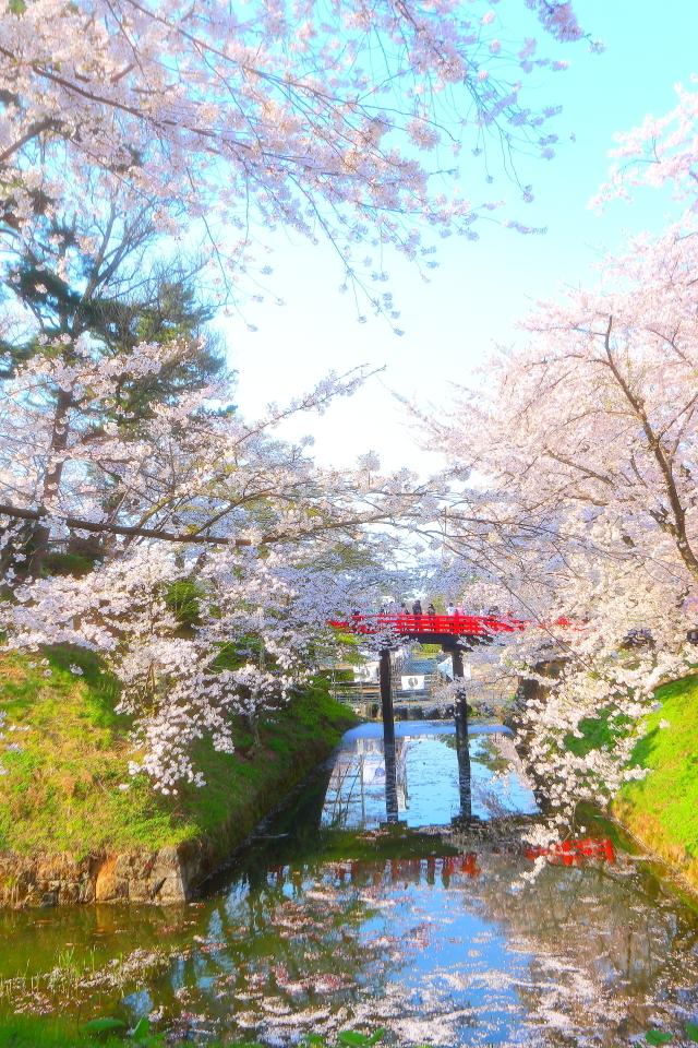 弘前桜17