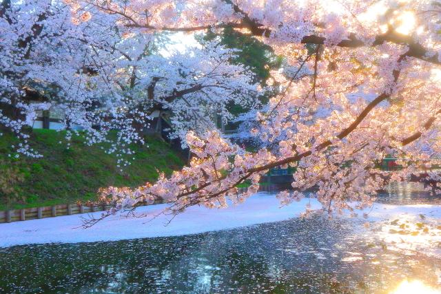 弘前桜20