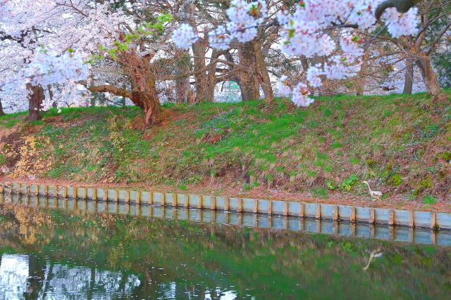 弘前桜24