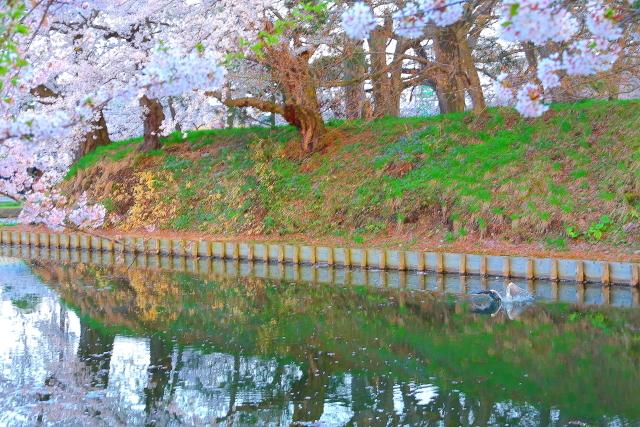 弘前桜25