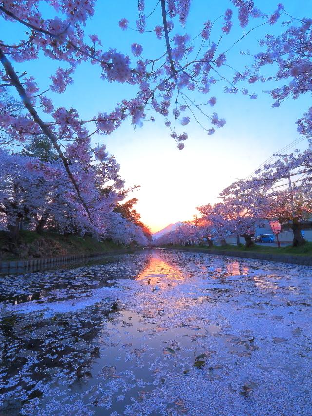 弘前桜27