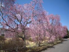 Calmの桜