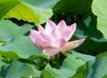 蓮開花DSCN3487