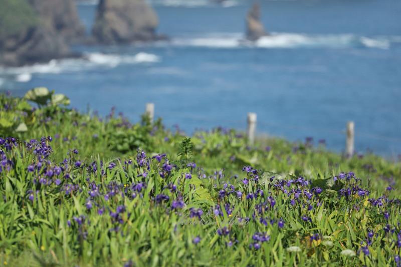 太平洋に咲くヒオウギアヤメ13570001署名入りedited