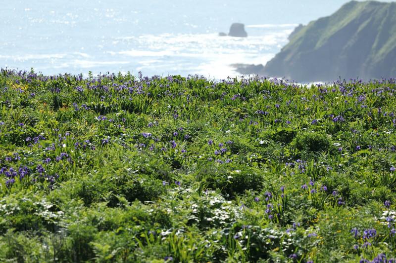 太平洋に咲くヒオウギアヤメ13620001署名入りedited