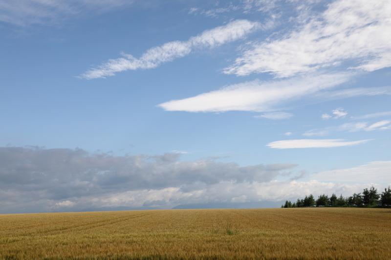色づきの小麦畑 26380001