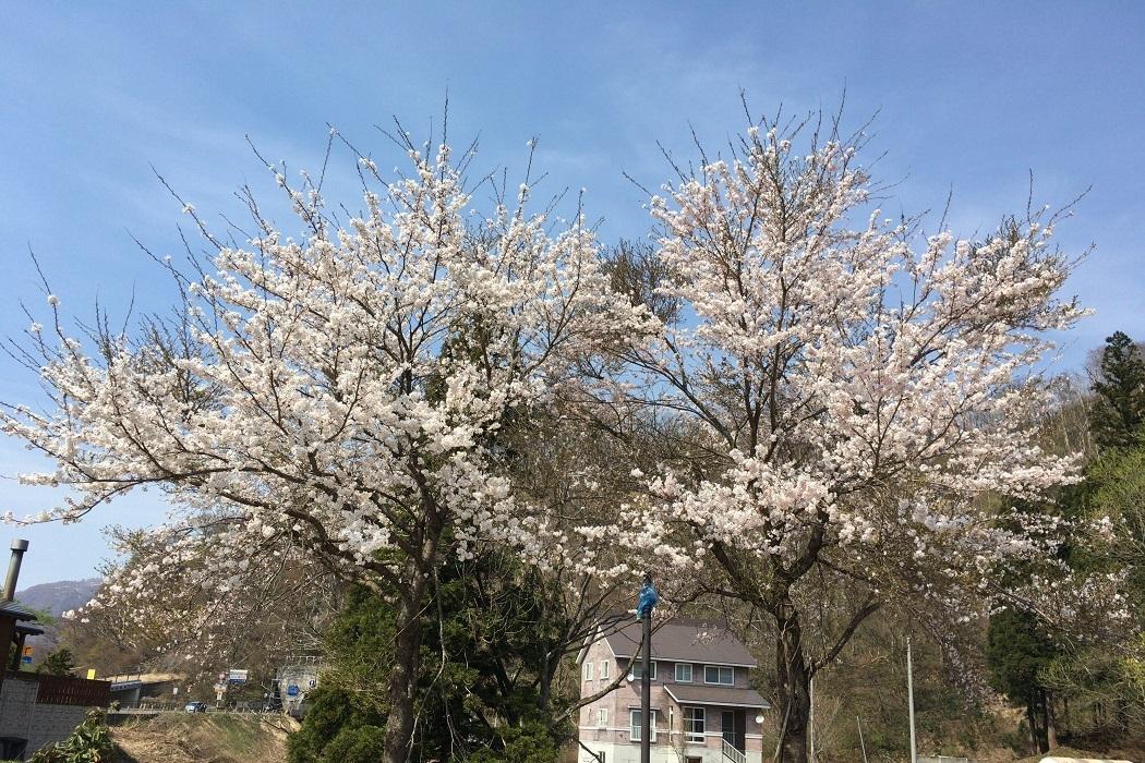 2018年最後の桜 updated