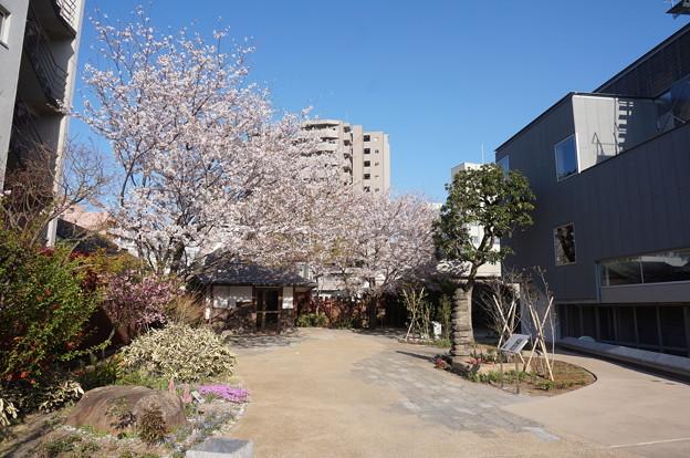 漱石公園の桜