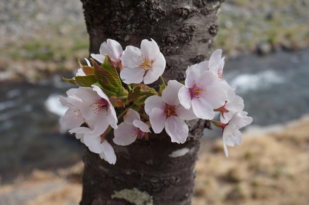 木の幹の桜