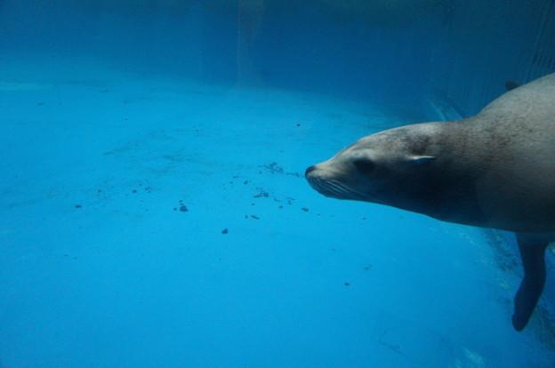 泳ぐアザラシ?