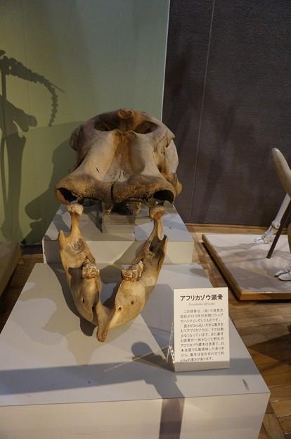 ゾウの頭骸骨