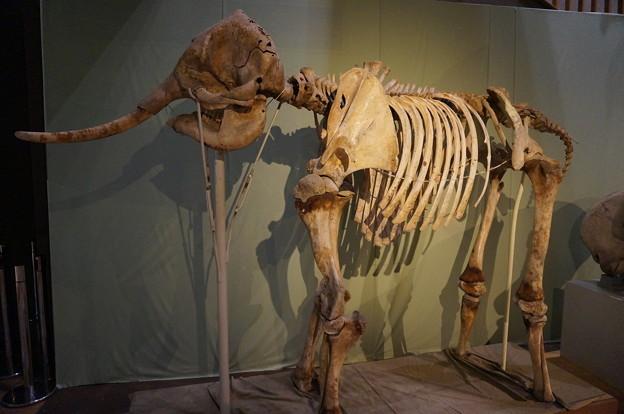ゾウの全身骨格
