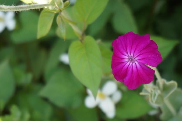 どくだみと紫の花