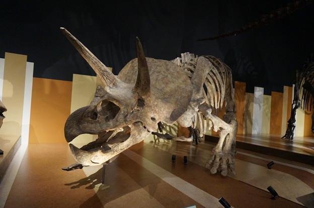 恐竜の王道トリケラトプス