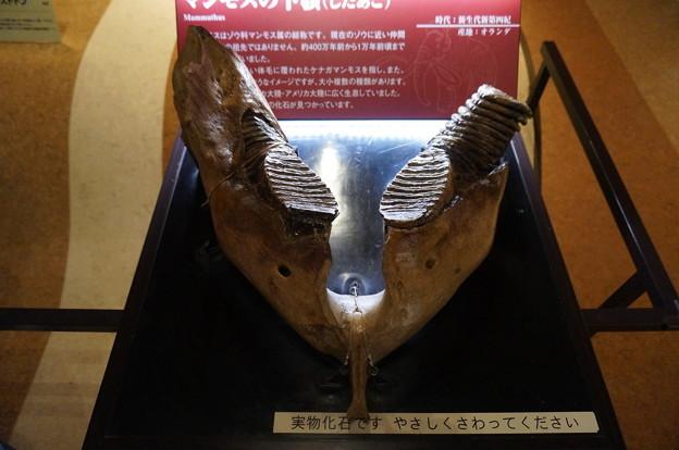 マンモスの奥歯
