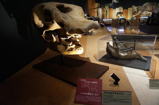 ゾウの骨格標本