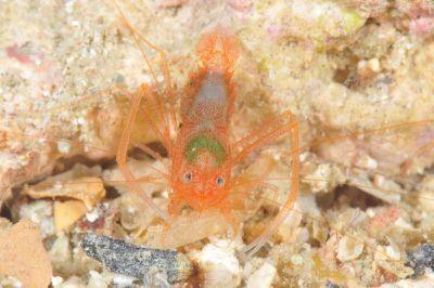 ユウギリスベスベオトヒメエビ