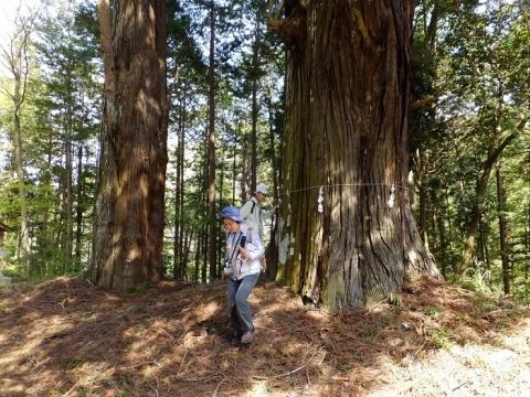 八幡神社の大杉