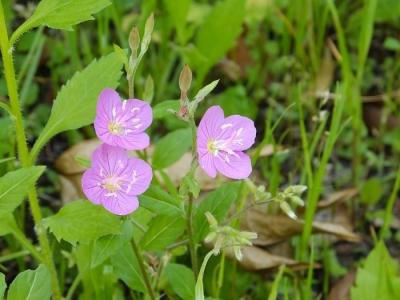 境川沿いに咲く草花