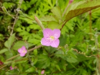 目黒川沿いに咲く花