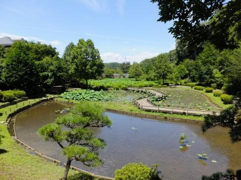 薬師公園の蓮田