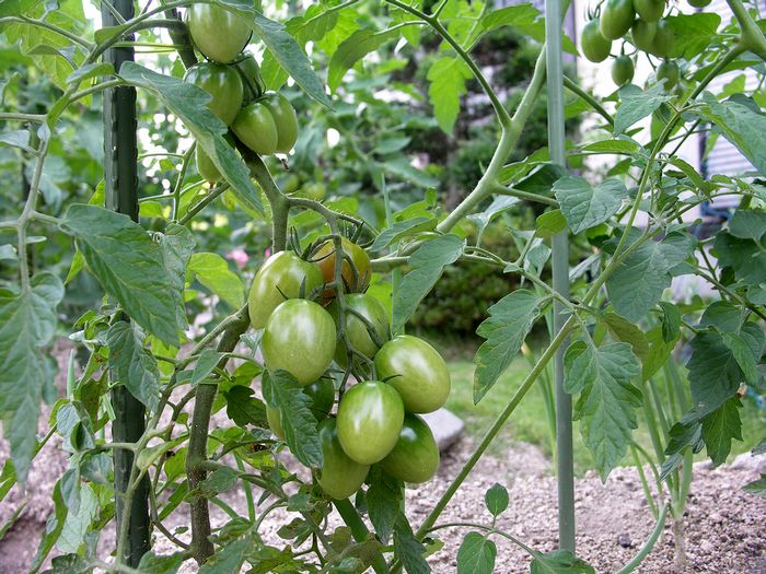 家庭菜園6