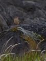 コマミジロタヒバリ8
