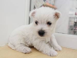ウエスティー子犬のお部屋デビューして、ヨーキーは一人遊びがとっても上手