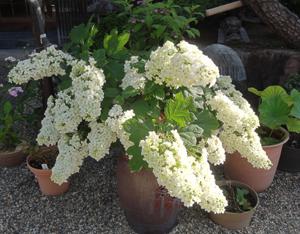 20180602白い花blog01
