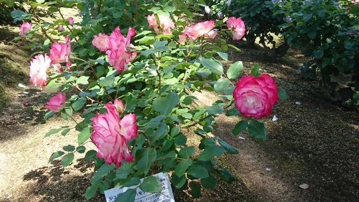 rsk薔薇園