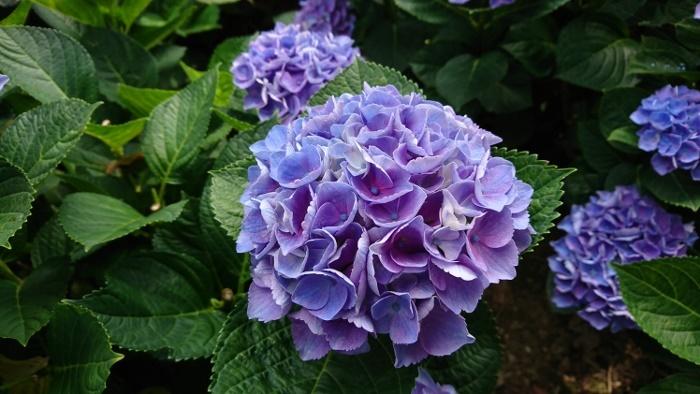 紫陽花研究所