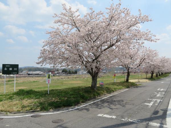 木津川の桜