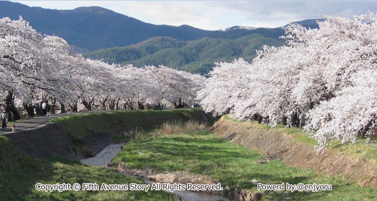 桜満開横河