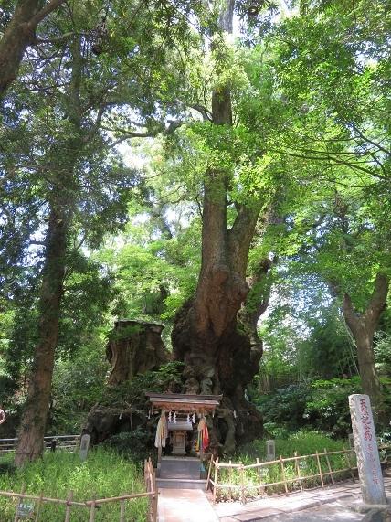 6D03 樹齢2000年の大楠 0630