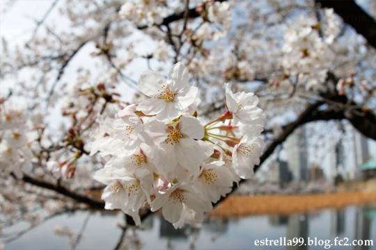 uenosakura03.jpg