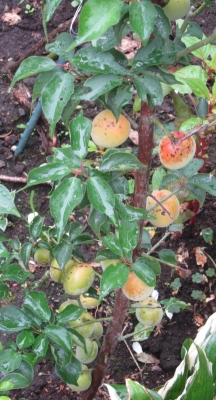 平成30年に植えた梅