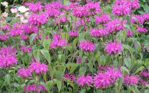 紫 ベルガモット